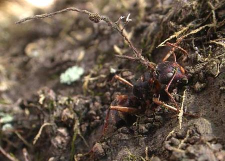 a hangyákat parazita irányítja
