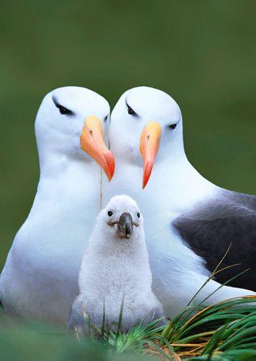 lpc257ml albatross.gif