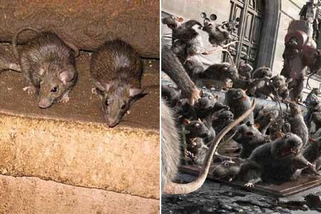 patkány öninvázió