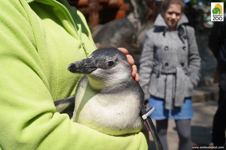 pingvinfioka01-Foto-Toth-Leticia