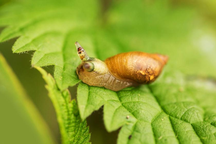 parazita lárváktól