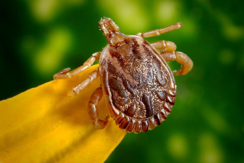 rovar parazita 6)