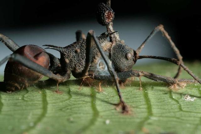 hangyaboly és paraziták