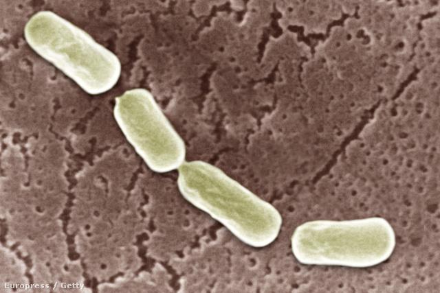 Clostridium botulinum, a botulizmust okozó baktérium