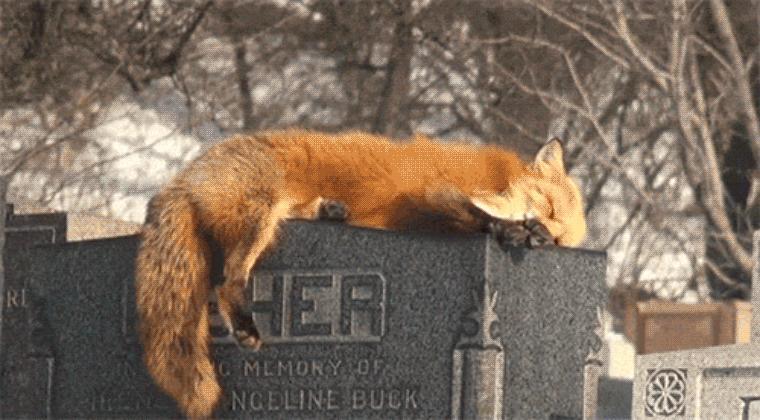 fox2.gif