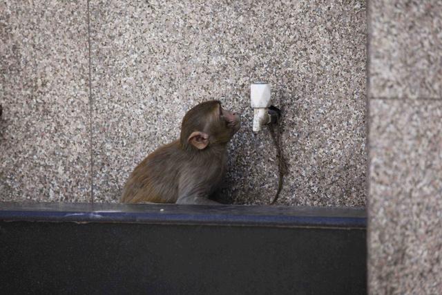 Egy majom igyekszik vizet szerezni magának Újdelhiben