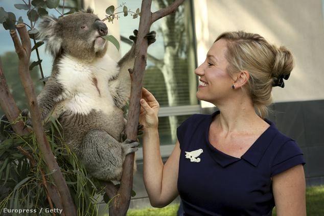 Hamarosan koalák is érkeznek