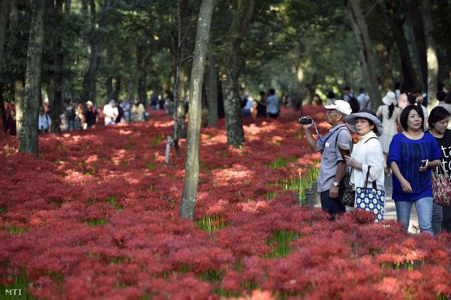 Látogatók a vörös pókliliom virágzása idején