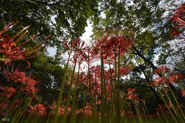 Virágzik a vörös pókliliom a Kincsakuda Parkban a japán főváros mellett
