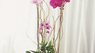 Kisokos: hogyan fogja túlélni az orchideája