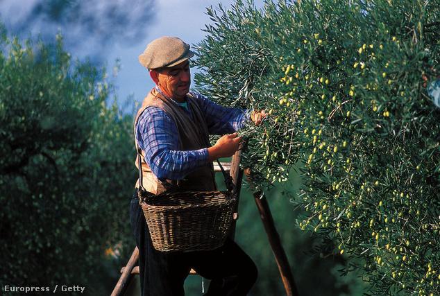Olívaszüret, Provence