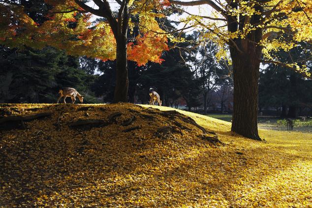Japán szarvasok a Nara parkban