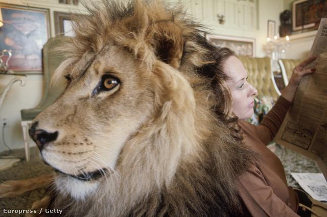 Igen, Hollywoodban akkoriban teljesen normálisnak tűnt, hogy valaki úgy forgasson filmet, hogy összeköltözik néhány oroszlánnal. Nem akarunk gyanúsítgatni senkit, de arról az időszakról beszélünk, amikor a világ felfedezte magának az LSD-t, meg úgy általában a pszichedéliát. Szóval Tippi Hedren beszélt egy állatkölcsönzős ismerősével, Ron Oxleyval, aki nagymacskák kölcsönzésével is foglalkozott, aki azt mondta neki, hogy leginkább úgy lehet megtudni bármit is a nagymacskákról, ha az ember együtt él velük.