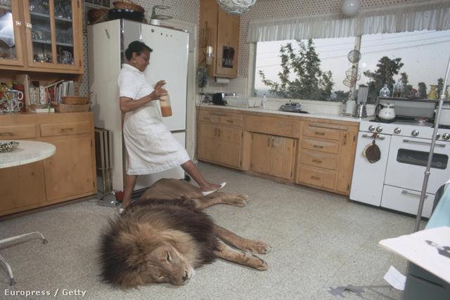 Hedrenék így is tettek, nem sokkal később beköltözött hozzájuk az első állat, Neil az oroszlán (az itt látható képek mindegyikén ő szerepel, nem, egyiken sincs kitömött állat). A cél az volt, hogy fiatal állatokat szoktassanak az emberekhez hónapokon keresztül. Az állatok heti 4-5 napot töltöttek Griffithéknél, aztán a hét maradék napjait egy állatfarmon töltötték.
