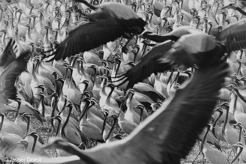Darumadarakat fotózni Indiában egy BBC-dokumentumfilmbe remek mulatságnak tűnik, hát még akkor, ha ilyen kiváló a végeredmény. Jasper Doest azért fekete-fehérben készítette el a képet, hogy csak a rengeteg daru maradjon fókuszban, és semmi ne vonja el róluk a figyelmet.