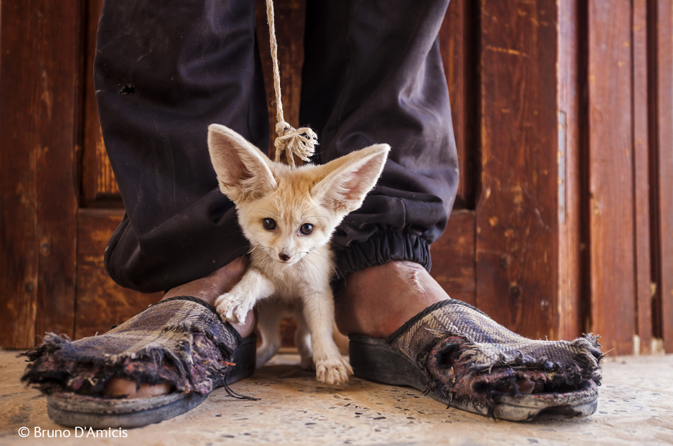 Egy Szaharában talált - és családjától elválasztott sivatagi rókát árul egy fiú a turistáknak Tunéziában. És ezek tényleg az ő fülei; a nagy hőségben úgy működnek, mint a hűtőbordák.