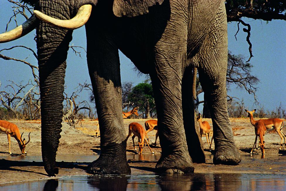 Balról jobbra: fél antiloptörzs, egy agyar, egy ormány, egy agyar, egy láb, két és fél antilop, két láb, egy antilop, egy elefántláb, és még két antilop. Alul víz, fölül ég, középen Afrika.