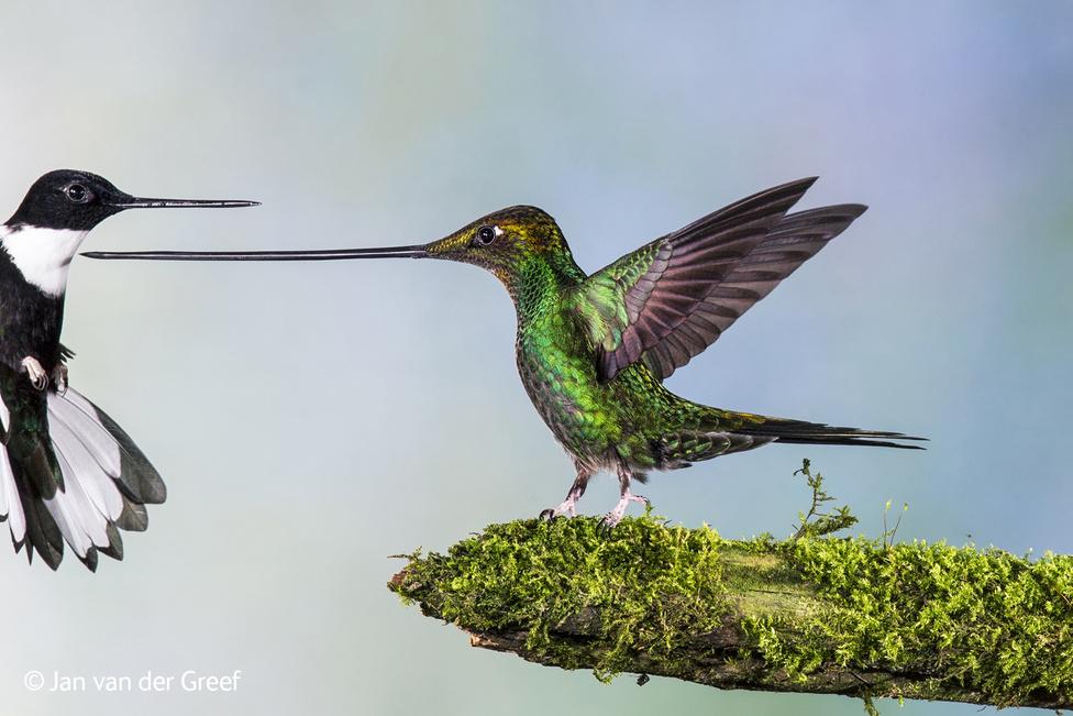 Ez tényleg nem egy Boris Vallejo-festmény, ahol a baloldali szögevő madárra már nem jutott színes tinta, hanem egy Ecuadorban készült természetfotó két miniatűr madár párbajáról. Tudták, hogy ez a tarka kis kolibri az egyetlen madárfaj, amelyiknek hosszabb a csőre, mint a teste? (Már ha a farkát nem számítjuk.) Nem véletlenül terjedt el a vicc, hogy a kolibrit úgy kell megenni, hogy kiszívják a csőrén át, és eldobják a maradékot. Épp ezért fotózni is nehéz őket. Jan Van Der Greefnek is csak stroboszkópos vakuval sikerült ezt a képet összehoznia, másodpercenként több mint 60 villanással. Ez kellett ahhoz, hogy a madarak szárnycsapása ne hasson elmosódottnak.