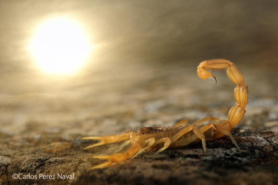 Támadásra kész skorpió, a háttérben atomcsapásszerű naplementével.