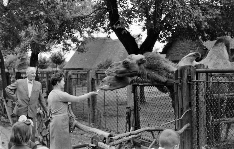 Etetés levert forradalom után. Az ötvenes években egy cipőfelsőrész-készítő munkást tettek meg állatkerti igazgatónak, ehhez képest a hatvanas években sokat fejlődött az intézmény Anghy Csaba vezetése alatt, bár arról ő valószínűleg legfeljebb csak közvetve tehetett, hogy kiselefánt és orrszarvú is született itt ezekben az években.