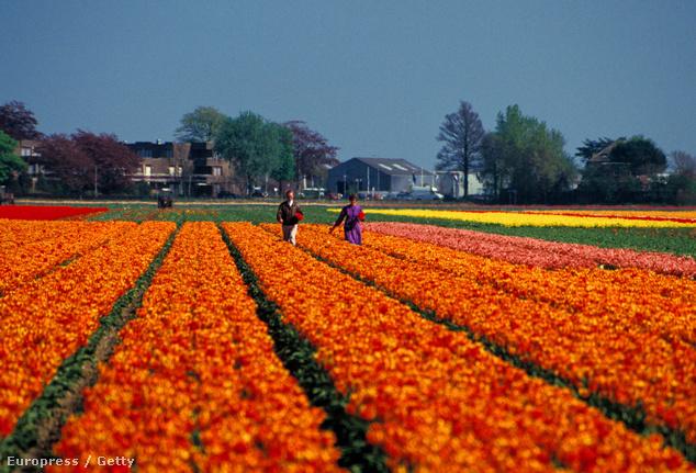 Hollandia és a híres tulipánmezők