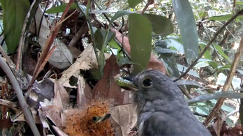 Az internet mai nyertese: a madárfióka, ami hernyónak álcázza magát
