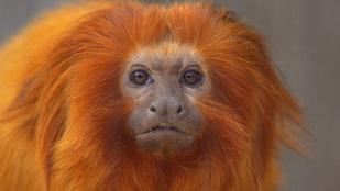 Veszélyeztetett majmot faltak fel az állatkerti vidrák