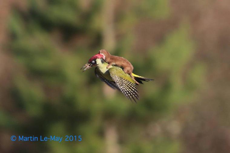 Látott már zöld fakopáncs hátán repülő menyétet?