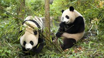 Jó hír a pandáknak, jó hír az emberiségnek