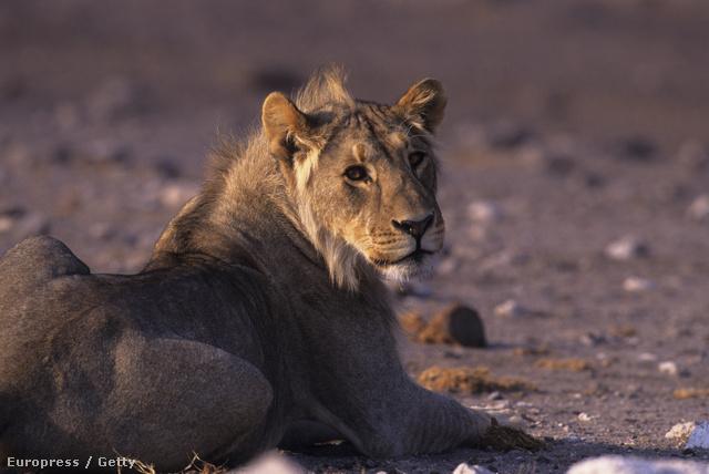 Hűsöl az állatok királya
