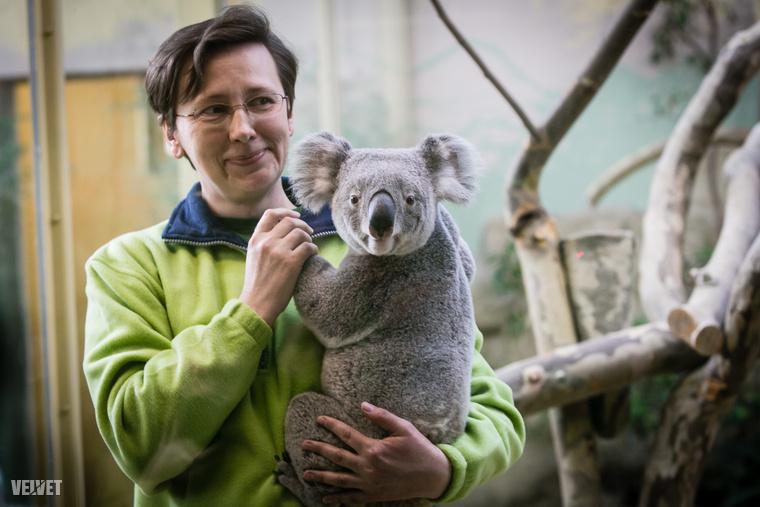 Tarlós István és egyéb budapesti Méltóságok csütörtökön ünnepélyesen felavatták Budapest új koaláit