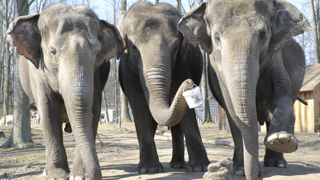 A Nyíregyházi Állatpark elefántjai