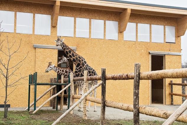 A bécsi zsiráfok már fejmagasságban is látogathatók