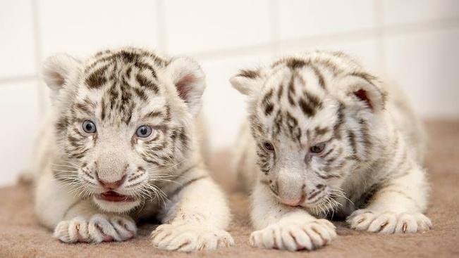 A két kis bengáli tigris