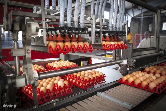 A méret szerint válogatott tojásokat fertőtlenítik, majd tovább kerülnek a csomagolósorra.
