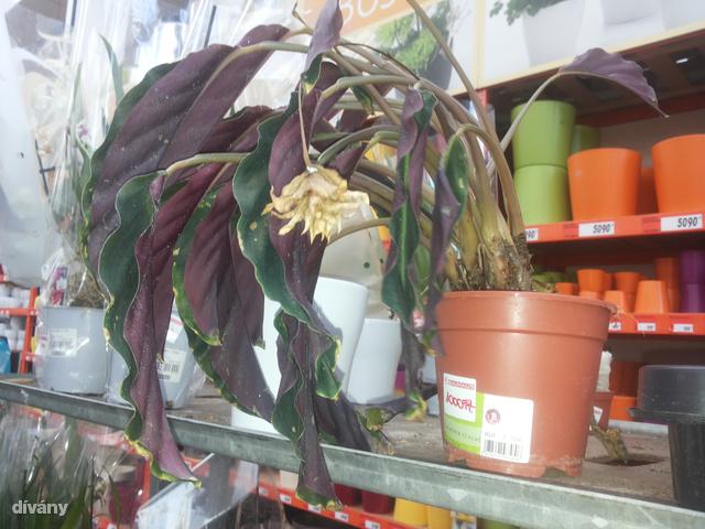 Eladható állapotában még 3560 forintot kértek érte - most egy ezresért öné lehet a haldokló növény. Tisztára megéri.