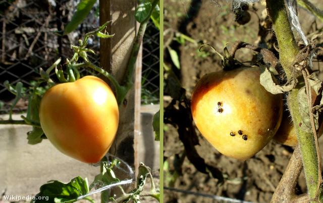 Nezara viridula tomato damage 2010