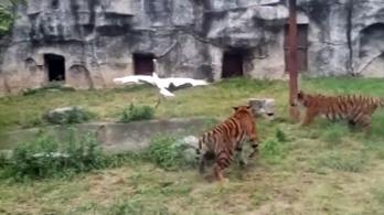 A daru, ami hülyét csinált három tigrisből