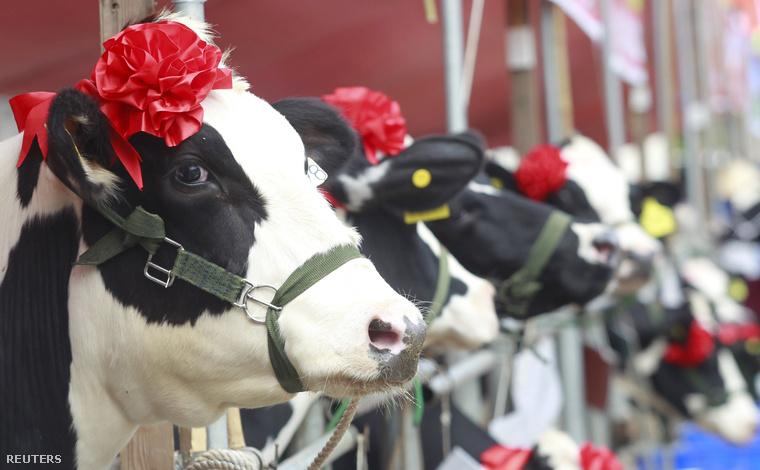 Ahogy azt a címben ígértük, valóban két érdekes hír szereplői voltak az említett fenekek, de kezdjük egy még fontosabb képpel eheti válogatásunkat! Ez a fantasztikus fotó a vietnami Miss Milk Cow szépségversenyen készült.