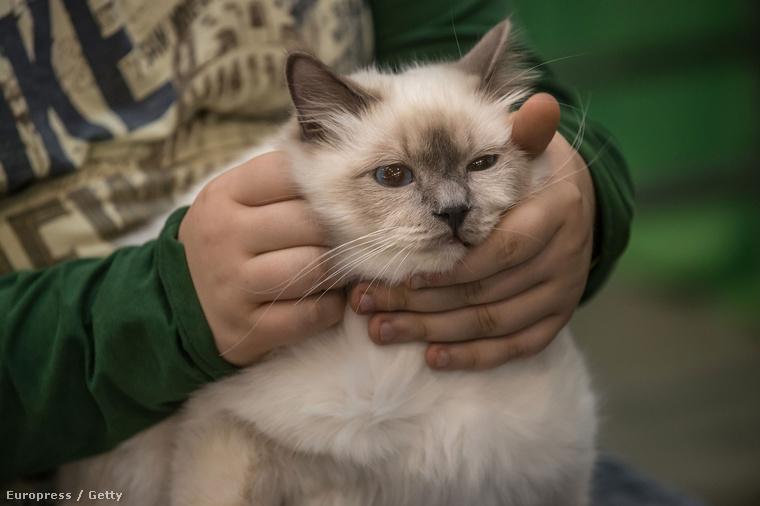 Idén is megrendezték Rómában a Super Cat Show nevű eseményt, ami egy globális macskaszépségverseny