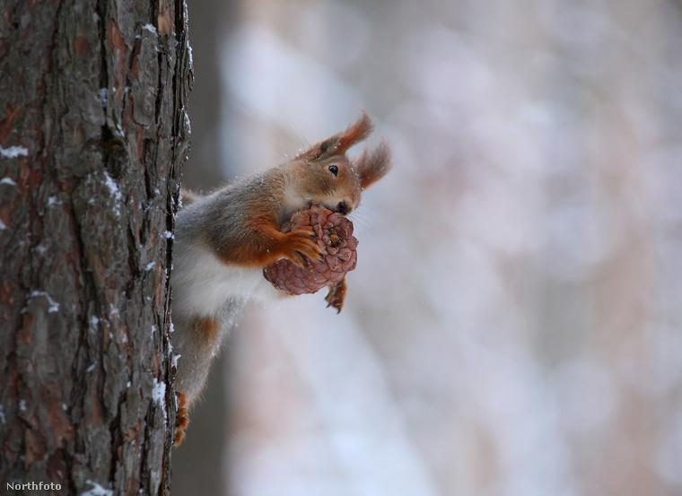 Jól nézzék meg ezt a bájos kis állatot! Voronyezsben fotózták le, itt épp egy ízletes tobozt majszolgat.