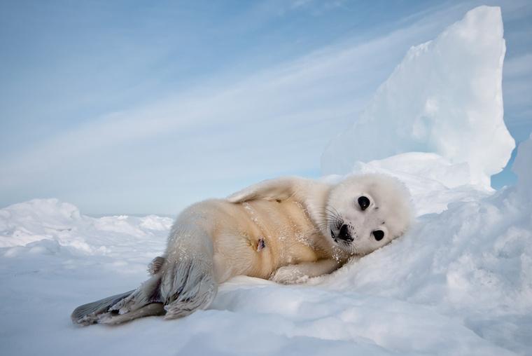 A fotós a Kanadához tartozó Madeleine szigeteken örökítette meg a néhány napos grönlandi fókákat.