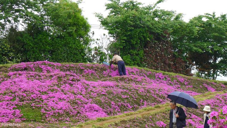Másrészt a gyönyörű rétet turisták ezrei látogatják minden évben, így Kuroki asszony nem érzi magát annyira egyedül