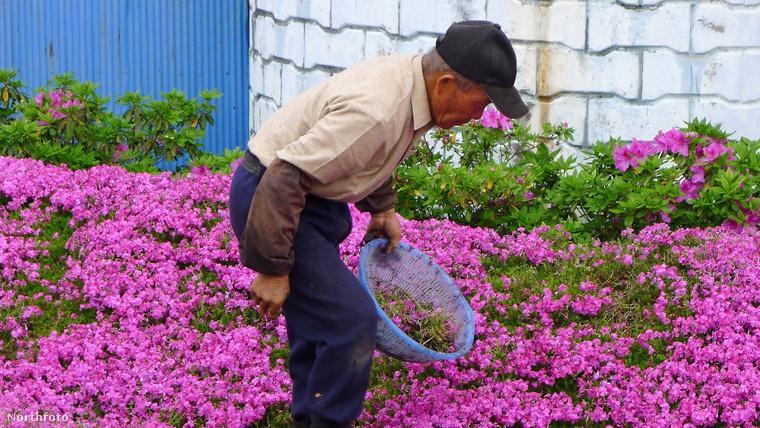 Kezdetben tehenészet volt itt, de amikor a pár idősebb lett és Kuroki asszony elvesztette a látását, a bácsi úgy döntött, inkább virágokkal ülteti be az egészet