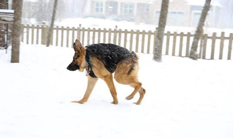 Quasi a neve a hóban sétáló németjuhásznak, aki eléggé hasonlít a világ legrondább kutyájának kikiáltott                          holland juhász és pittbull keverékre