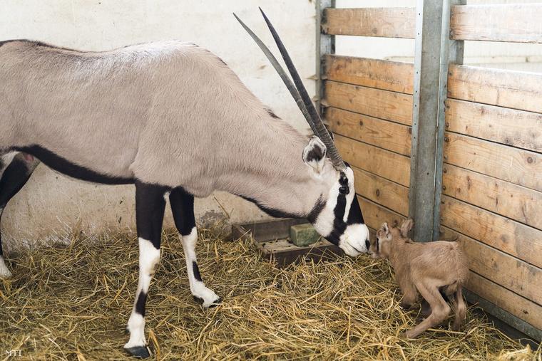 Ez az elegáns fehér maszk, amelyet tippünkre az édesanya visel, a faj sajátossága