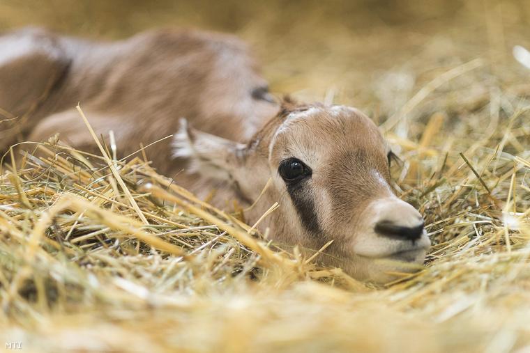 A különösen fotogén állat március 23-án jött a világra, néhány órával később pedig már a saját lábain állva nézett szembe a valósággal