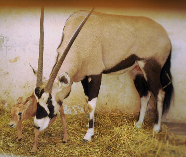 Ezek az antilopok egyébként Dél-Afrikában őshonosak, és Magyarországon csak a Nyíregyházi Állatparkban láthatjuk őket (személyesen).