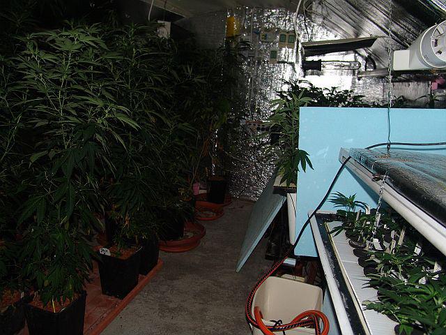 Ha az angol úr valóban saját magának nevelgette a növényeket, akkor elég kényszeres lelki alkat lehet, mert a házkutatás során a rendőrök szárított és adagolásra előkészített növényi anyagmaradványokat, nagy mennyiségű, visszazárható nejlontasakot, digitális mérleget, valamint nagyobb mennyiségű készpénzt is találtak.