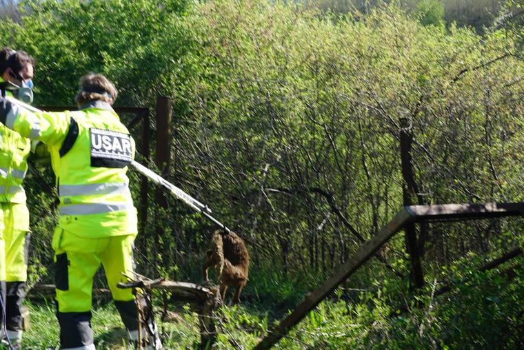 A róka annyira beásta magát a tehén tetemek alá, hogy a speciális mentőknek először onnan kellett kiimádkozniuk/kipiszkálniuk.